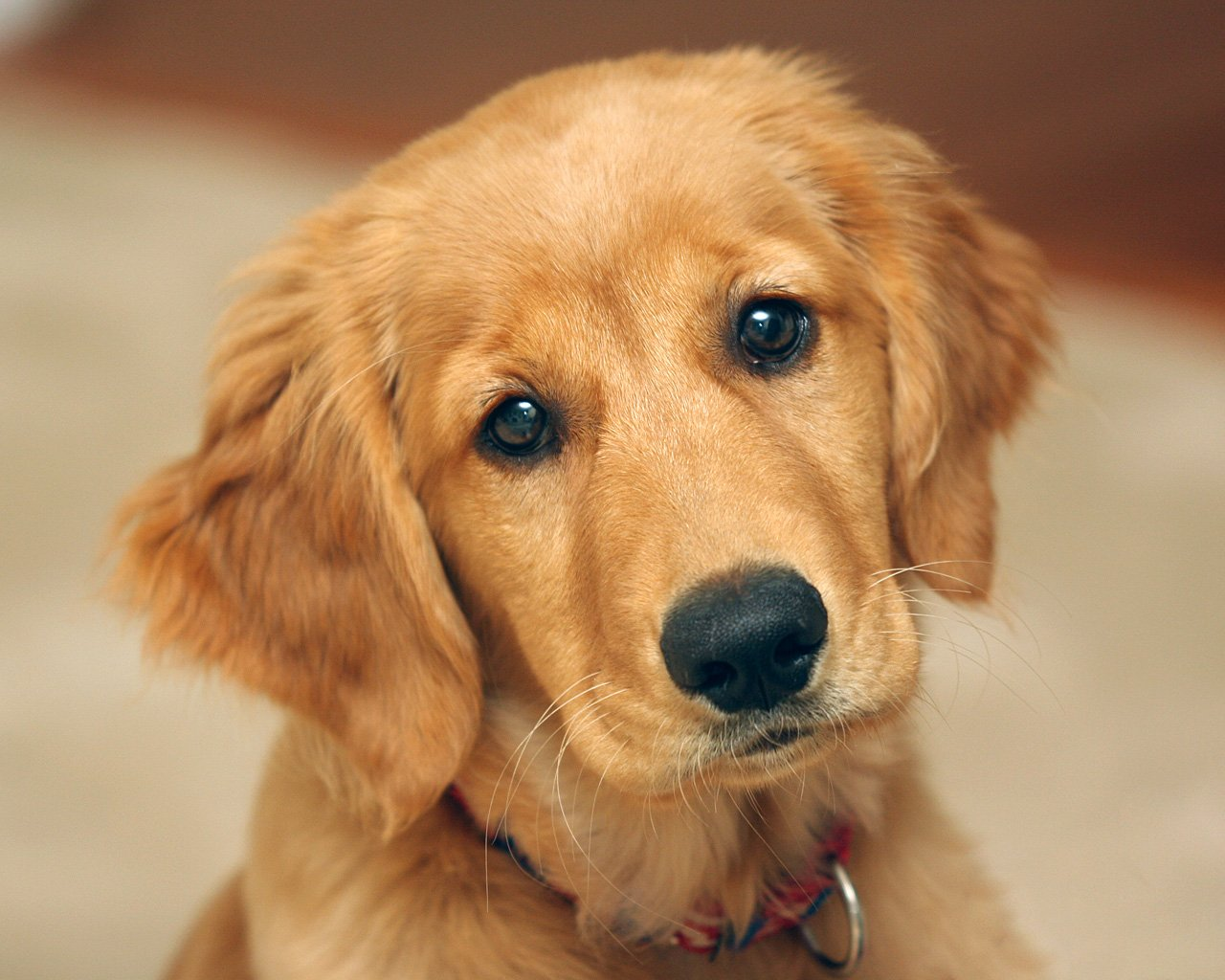 golden-retriever-0-1.jpg